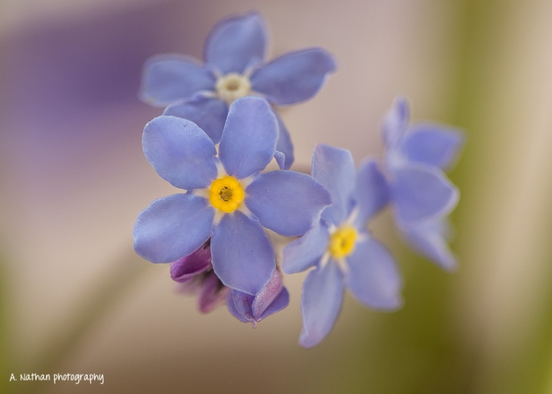 132/365 - Forget me not