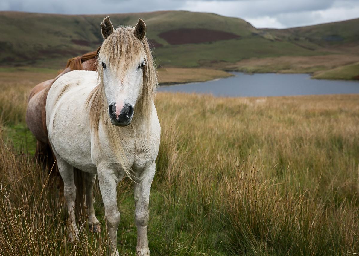 Welsh wild ponies (1 of 3)