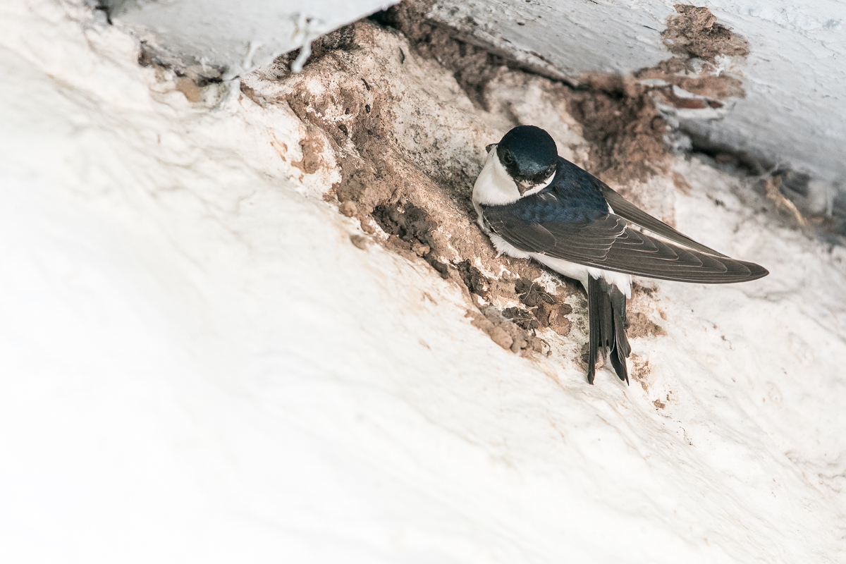 House martin (4 of 5)