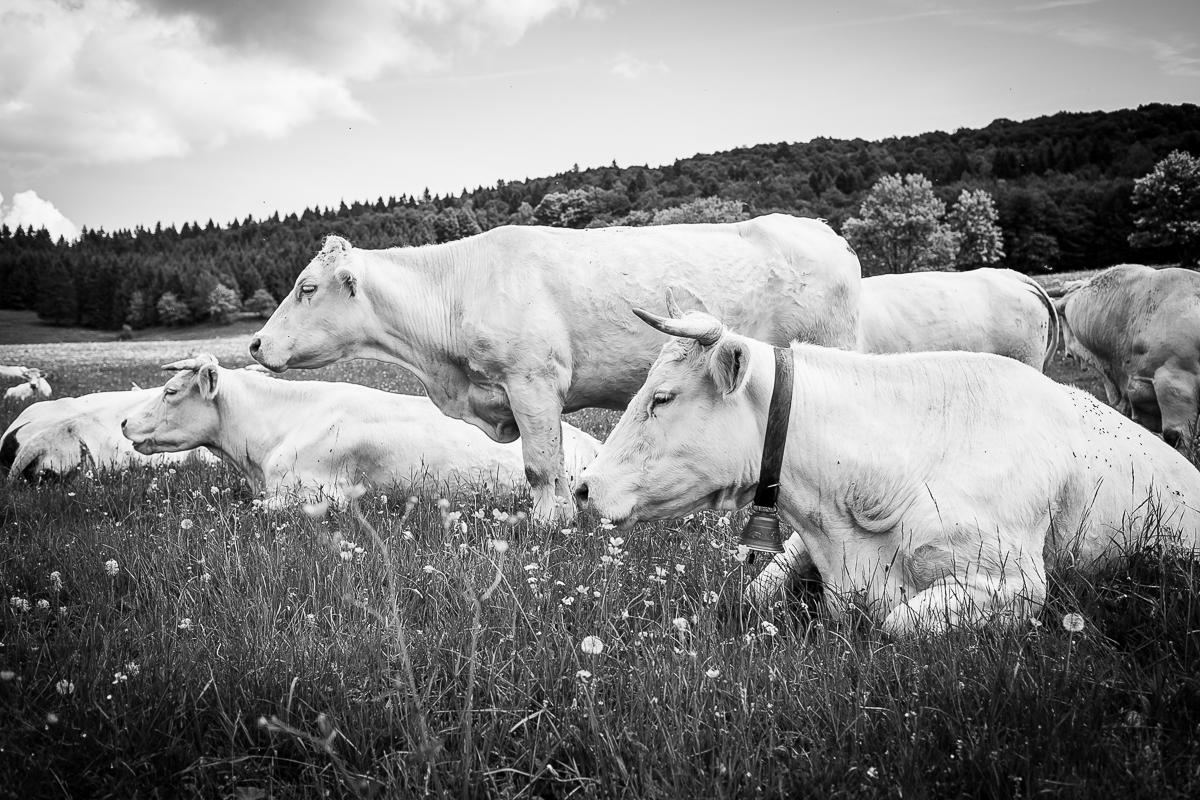 Swiss cows-4
