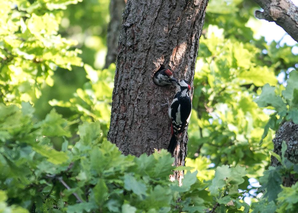 Woodpecker-21